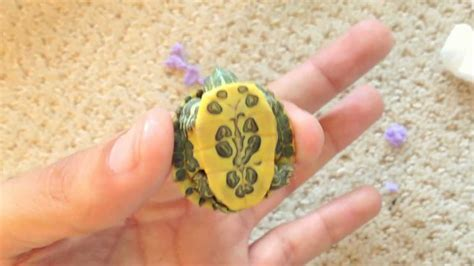 NEW! Rare Cute Baby Turtles   YouTube