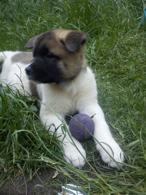akita for sale akita puppies for sale worcester worcestershire pets4homes