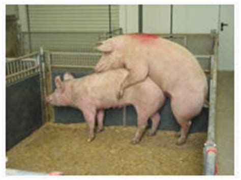 sau decken schweine beim decken gr 228 ser im k 252 bel 252 berwintern