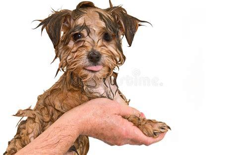 maltese yorkie mix price maltese yorkie mix puppy getting a bath stock photo image 12573172