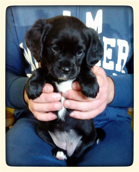 cavador puppies for sale beautiful cavador pups for sale narberth pembrokeshire pets4homes