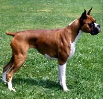 boxer puppies denver adopt a boxer breeds petfinder