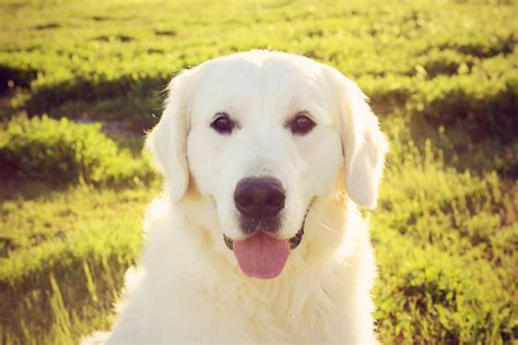 supplements for golden retrievers olaf chadwick s goldens chadwick s goldens