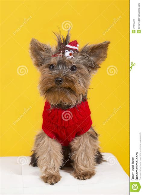 yorkie terrier clothes terrier in clothes stock photo image 39277220