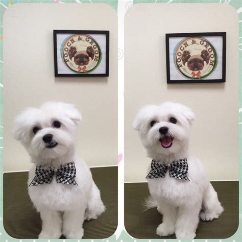 how to do a teddy cut on a pomeranian teddy cut maltese www pixshark images galleries with a bite