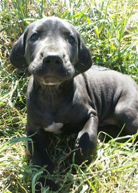 mastidane puppies for sale beautiful large great dane mastidane puppies for sale available now find me a pet