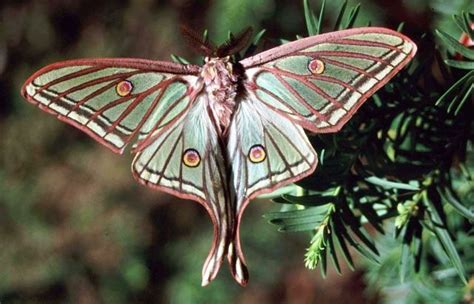 imagenes mariposas raras mariposa isabelina la cr 243 nica verde