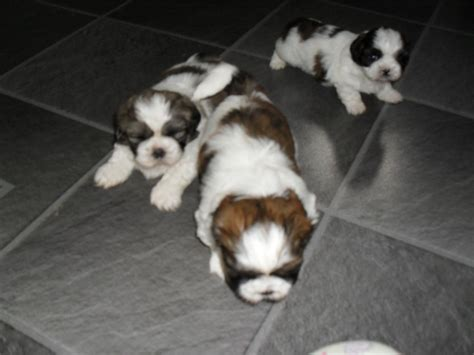 shih tzu puppies for sale swansea beautiful shih tzu puppies for sale 1 left swansea swansea pets4homes