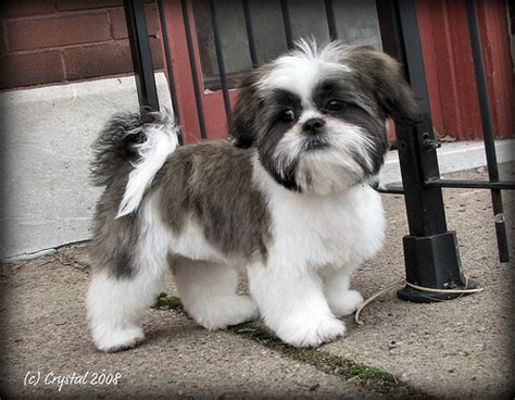pictures of shih tzu grooming styles shih tzu grooming style photos hairstyle gallery