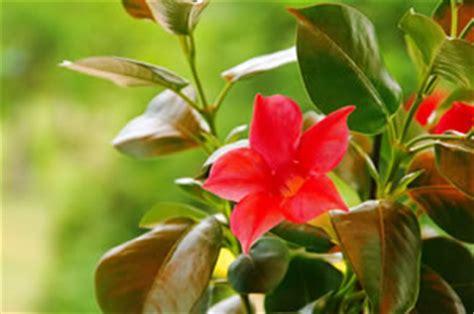 Geranien Giftig by Giftige Ungiftige Zimmerpflanzen F 252 R Mensch Und Tier