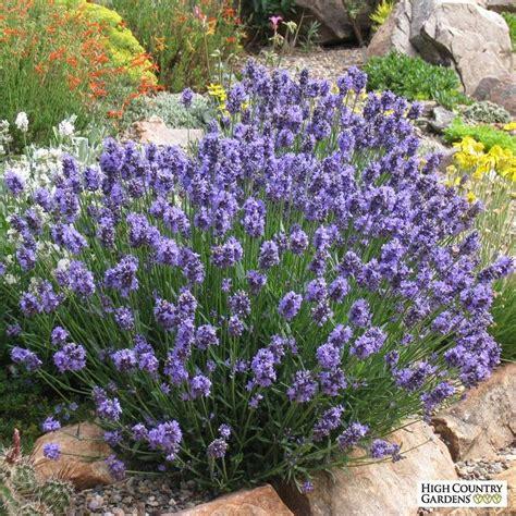 dwarf english lavender lavandula angustifolia thumbelina leigh high country gardens