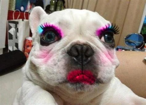puppy makeup poor bulldog in make up gracie lu shih tzu
