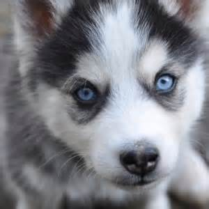 wolf looking dogs best 25 husky wolf mix ideas on wolf husky hybrid german shepherd mix