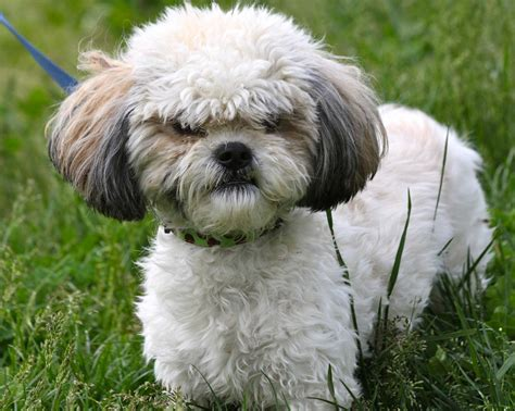 shih tzu guard understanding your aggressive shih tzu shih tzu city