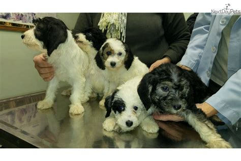 puppies for sale in southern maryland poodle miniature puppy for sale near southern maryland maryland 5a930a23 ce01