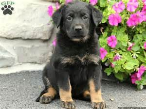 shepherd mix puppies for sale german shepherd lab mix puppies for sale