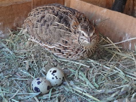 the little known benefits associated with raising quail