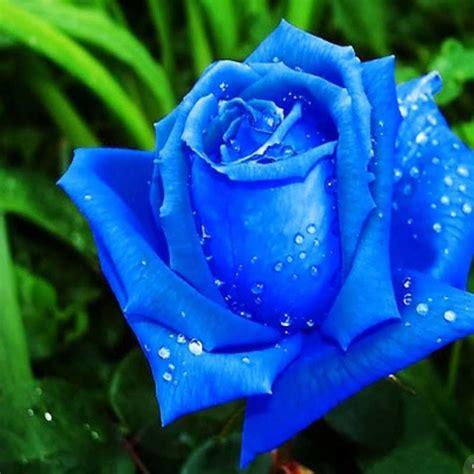 imagenes rosas color hermosas rosas color azul imagenes de rosas