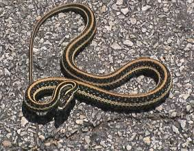 pictorial dictionary garden snake
