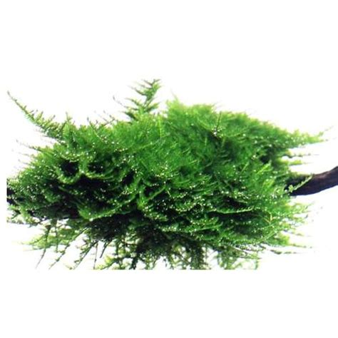 vesicularia dubyana christmas moss 163 5 50 buy aquarium