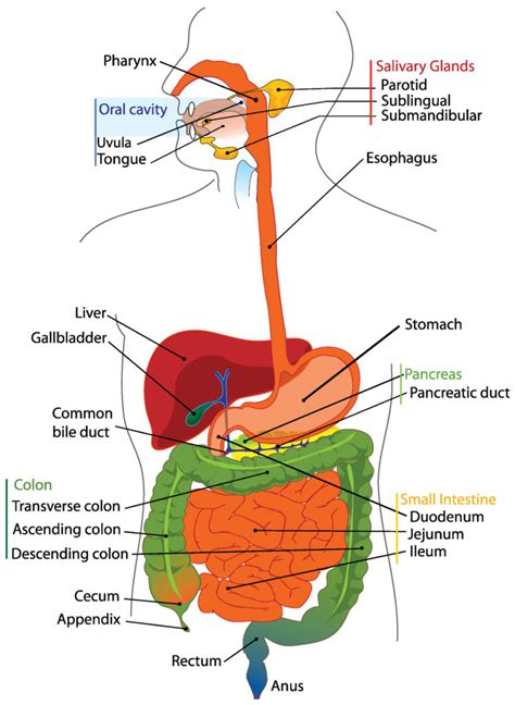organ anatomy diagram overview of the digestive system boundless anatomy and