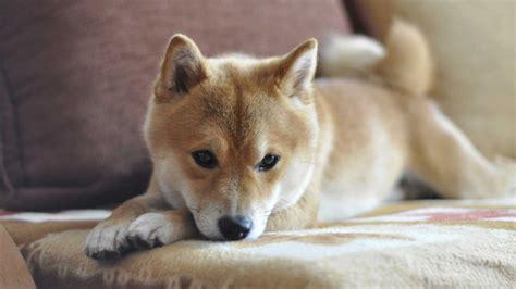 Tas Shiba Inu cachorro shiba inu