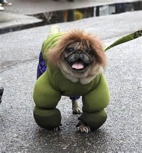 angry pugs 100 ideas to try about animals in fancy dress fancy dress costume a pug and
