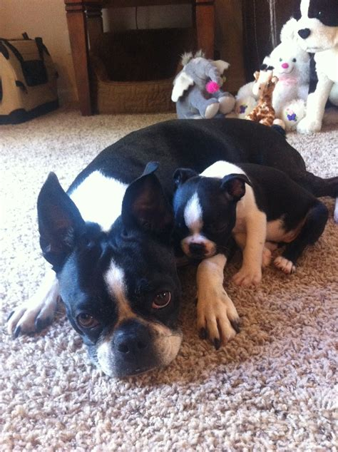 puppy boston terrier lexie the boston terrier gets a new boston terrier puppy ibostonterrier