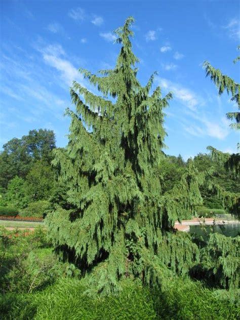 evergreens alaska cedar  kingwood center mansfield ohio art pinterest alaska