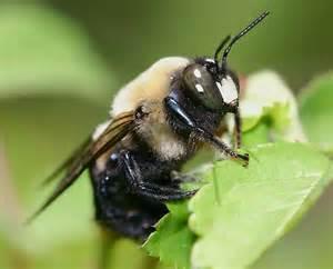 large carpenter bee xylocopa virginica bugguide net