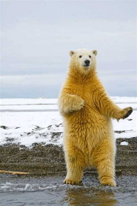 Dancing Polar Bear Meme - get your groove on like a polar bear