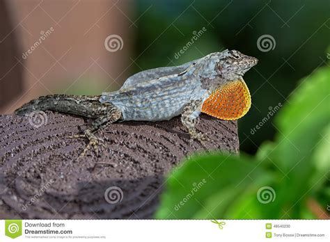 Gecko Skin Shedding by Brown Gecko Shedding Skin Stock Photo Image 48540230