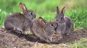 wildkaninchen im garten warum jetzt so viele kaninchen durch hamburg hoppeln