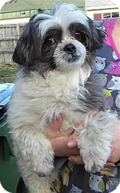 shih tzu and chow mix 25 best ideas about shih tzu maltese mix on bichon shih tzu mix yorkie