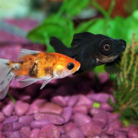 imagenes de uñas tipo pecera peces para un acuario comunitario