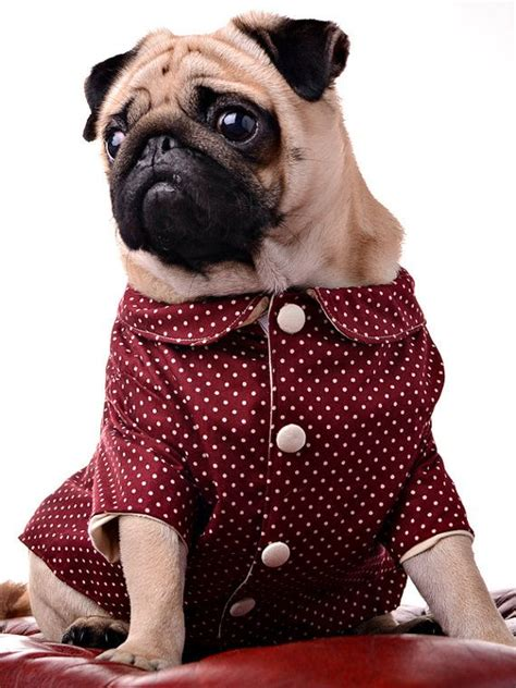 pug in jacket 224 best pug clothes and costumes images on pug dogs pug pictures