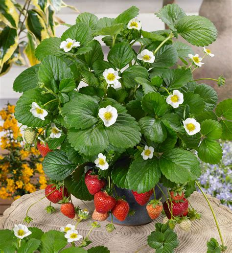 Strawberry Plant Loran And Tristan Strawberries Two Terrific New Varieties