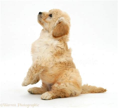 labradoodle vs golden retriever х miniature goldendoodle golden retriever miniature poodle a collection of ideas