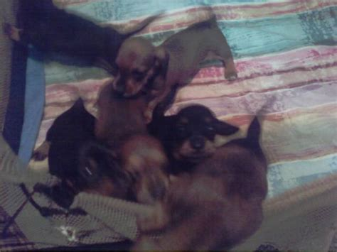 dachshund puppies for sale in mn dachshund puppies for sale adoption from minnesota adpost classifieds