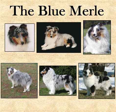sheltie colors i would to get a sheltie there are so many different
