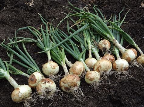 The Growing growing onions bonnie plants