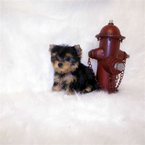 mini yorkie yorkies for sale buy mini yorkie puppy trooper