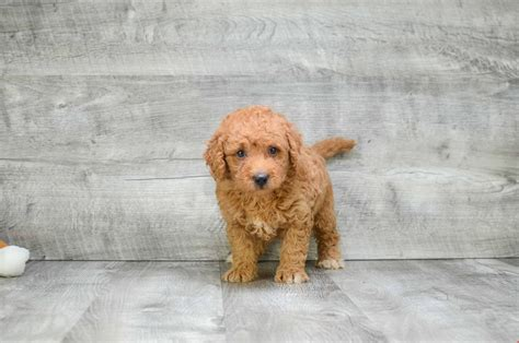 mini doodle ohio miniature goldendoodle puppies for sale mixed small