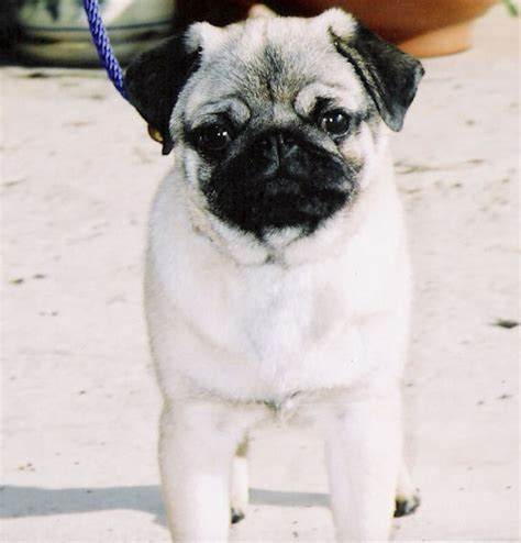 pugs in china ncpc pug of the month