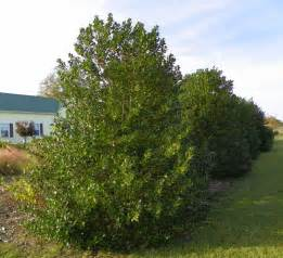Fall Garden Nc - great evergreens for screens and hedges north carolina cooperative extension