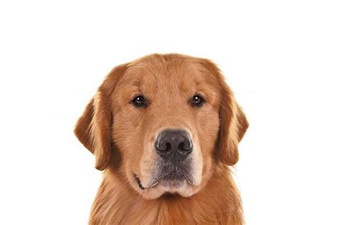 what breed is a golden retriever golden retriever breed information american kennel club