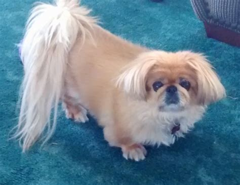 pictures of pekingese puppies pekingese breed information and pictures
