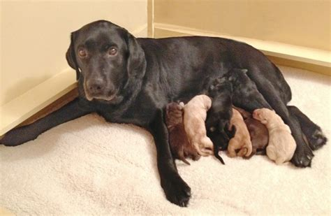 puppies for sale in hton roads eight new b c guide puppies need temporary homes
