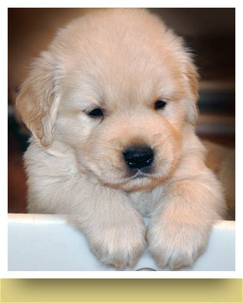 golden retriever puppy not your for the day our 1st pupperday with golden retriever puppies shana logic