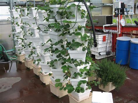 hydroponic stackers  bato buckets  strawberries